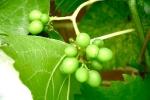 19-07-2008_detail_druiven.jpg