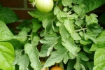 19-07-2008_detail_tomaat.jpg