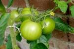 8-6-2008_detail_tomaat.jpg